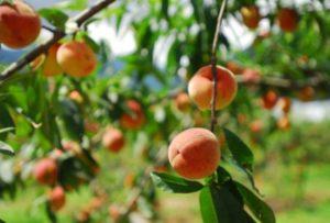 Gladstone Tavern - Jersey Peach Week
