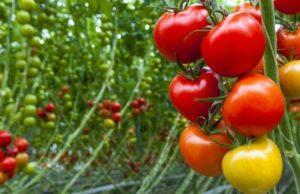 Nicholas - Jersey Tomato Tasting Menu